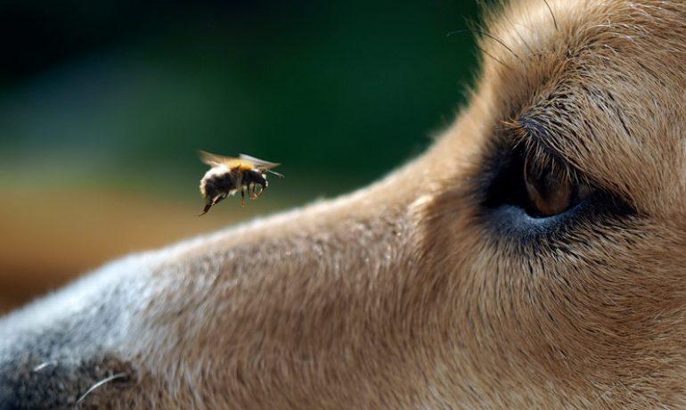 Qué hacer ante la picadura de abeja en perros