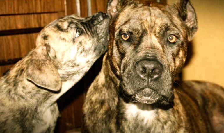 Quiero comprar un perro Alano español