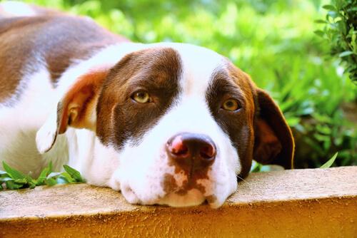 Razas caninas que son más propensas a sufrir torsión de estómago