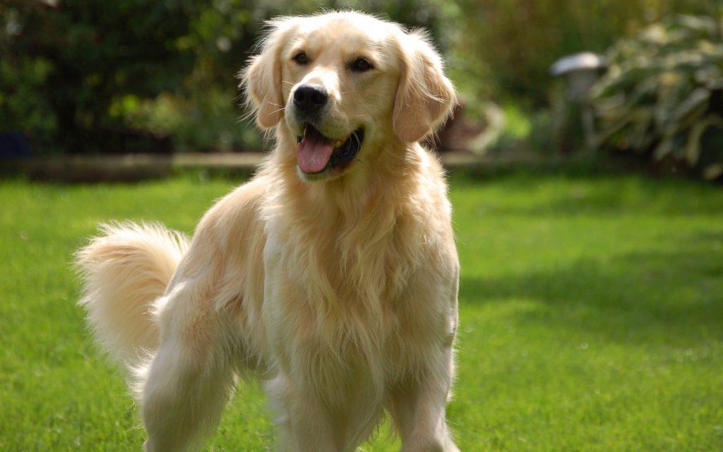 Razas de perros fáciles de adiestrar golden retriever