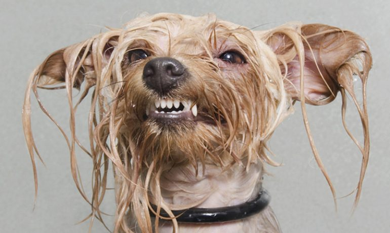 Receta de champú para perros