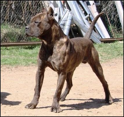 Recomendamos a la hora de comprar un perro Alano Español