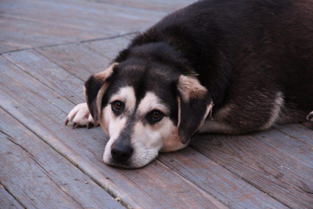 Remedios naturales para la cistitis en perros