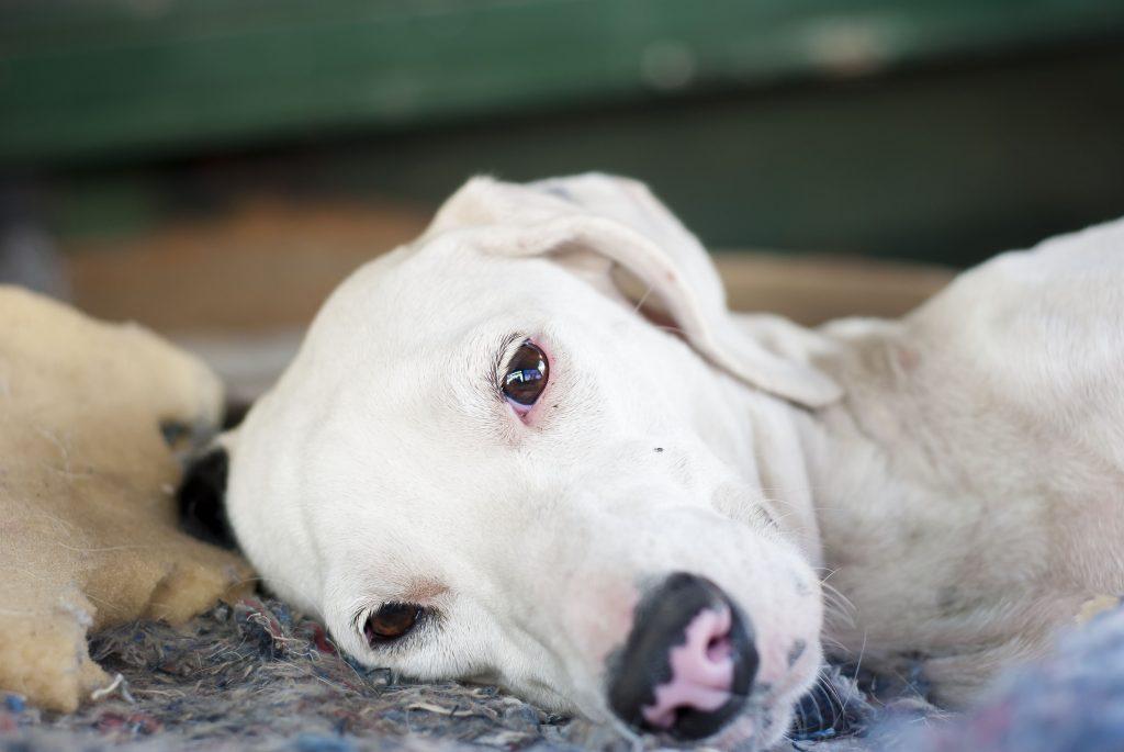 Síntomas de la enfermedad de Lyme canina
