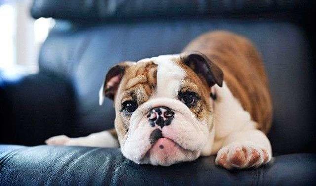Síntomas de la piel atópica en perros