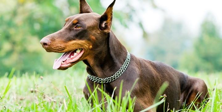 Síntomas de la torsión de estómago en perros