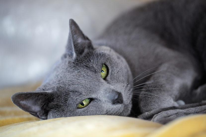 Temperamento del gato azul ruso