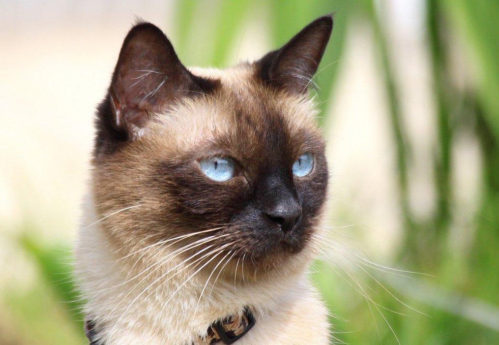 Temperamento del gato siamés