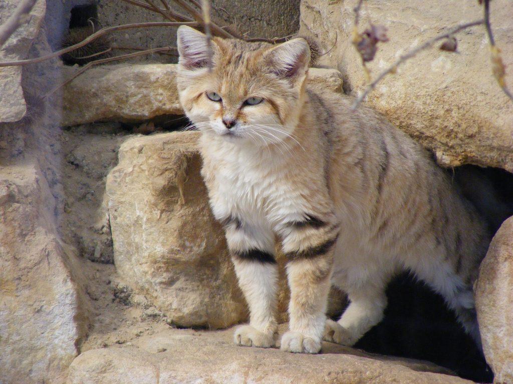 Tipos de gatos salvajes en Asia