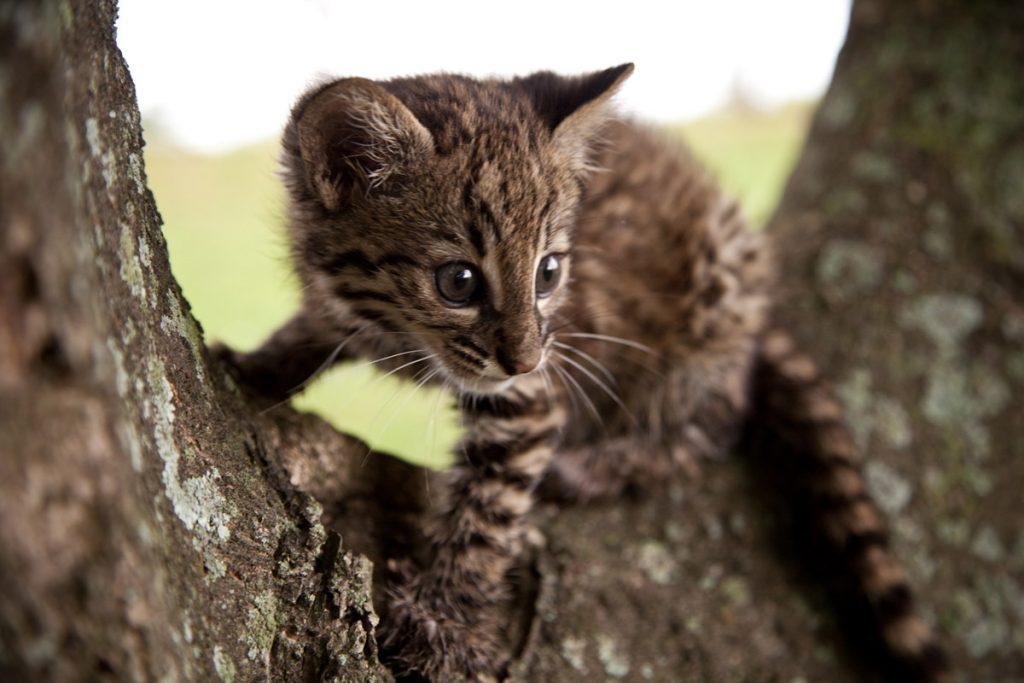 Tipos de gatos salvajes sudamericanos