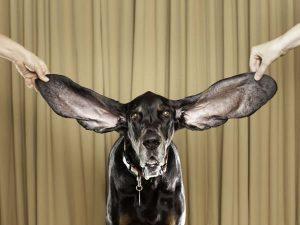 Todo sobre la otitis en perros