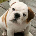 Todo sobre la piel atópica en perros