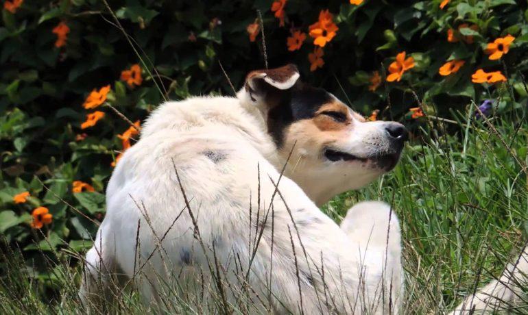 Todo sobre las pulgas en perros