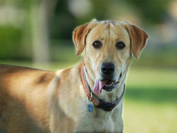 Tratamiento de la enfermedad de Lyme en los perros