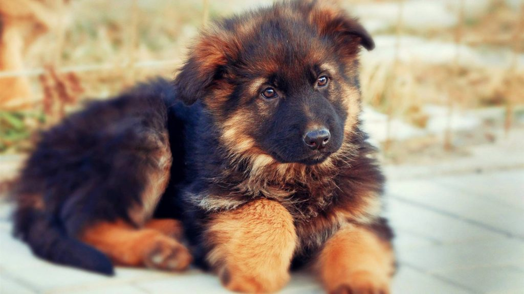Tratamiento de la meningitis en perros