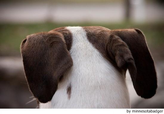 Tratamiento de la otitis en perros