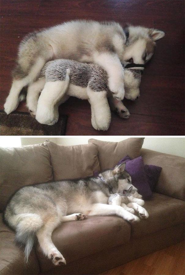 husky abrazando peluche