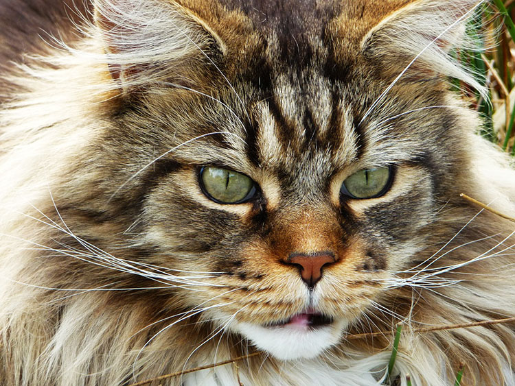 Carácter del gato Maine Coon