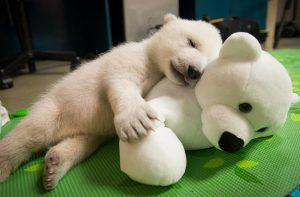 oso polar con peluche