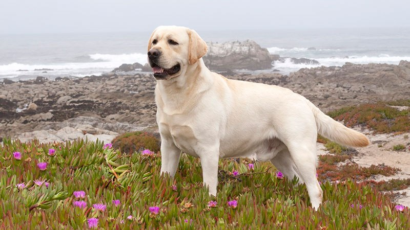 perros muy inteligentes Labrador retriever