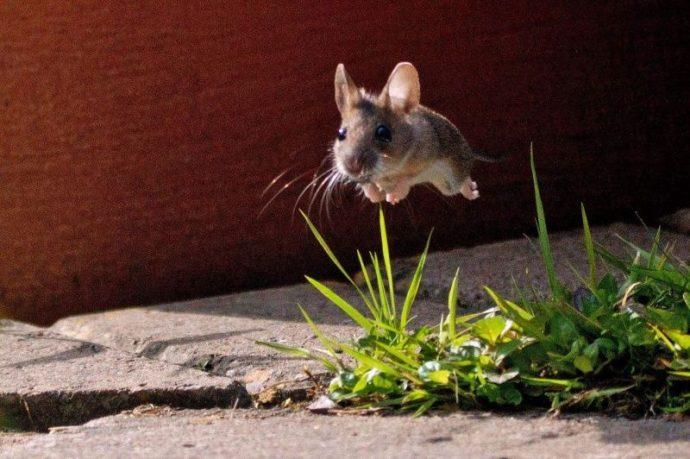 raton volando