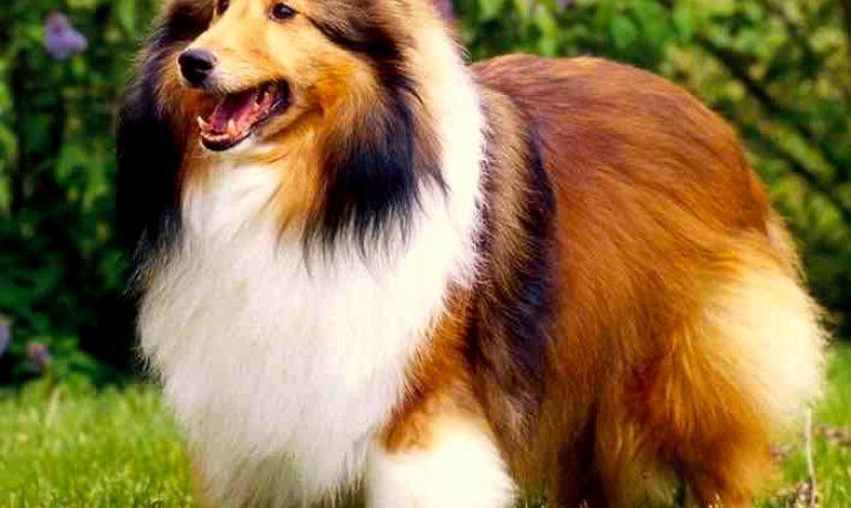 razas de perros fáciles de adiestrar