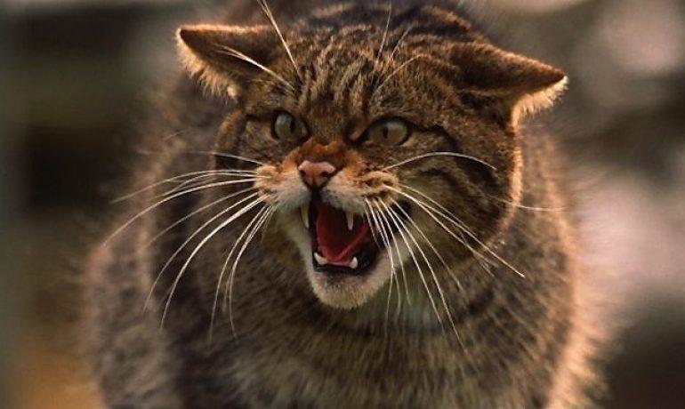 tipos de gatos salvajes
