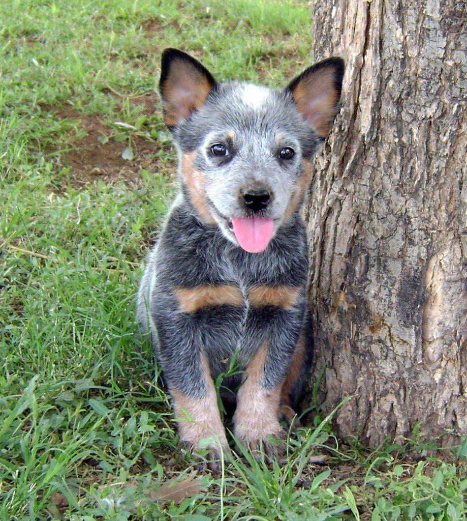 Salud del cattle dog australiano