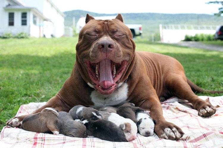 Resultado de imagen para cachorros pitbull