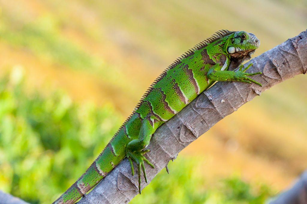 Alimentación de la iguana verde