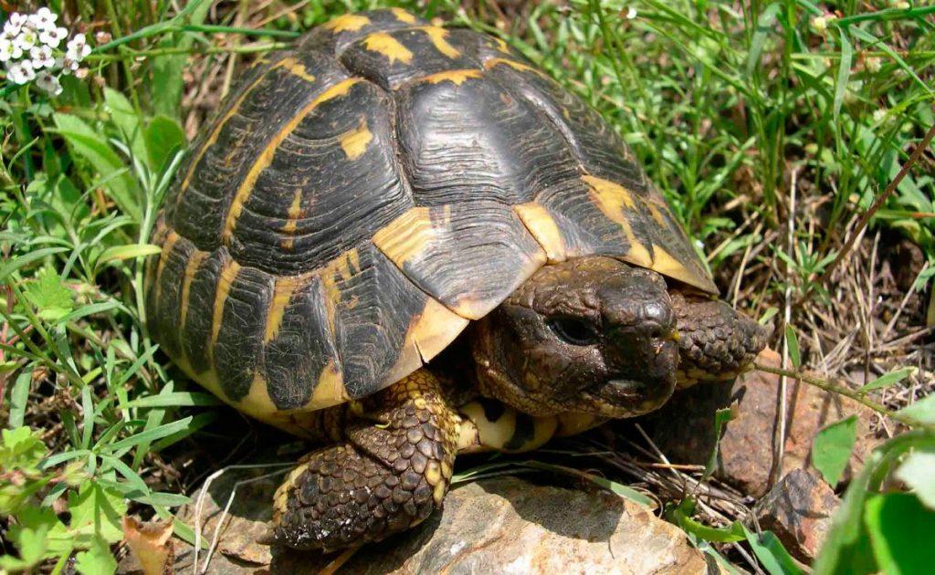 Alimentación de la tortuga de tierra