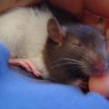 Alimentación de las ratas
