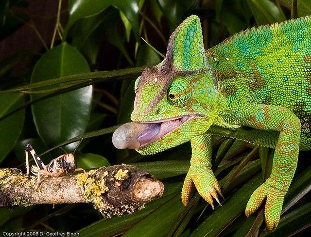 Alimentación del camaleón como mascota