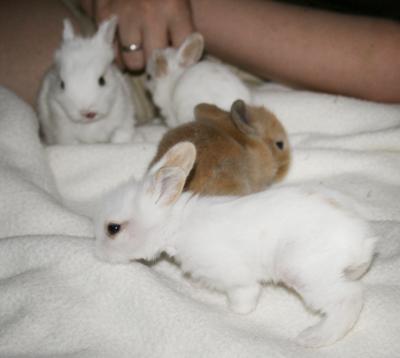 Alimentación del conejo adulto