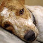 Artritis en los perros