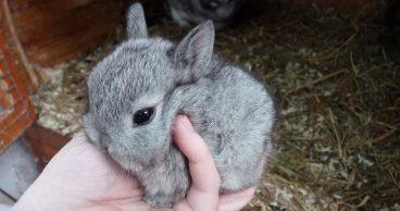 Así es el comportamiento de los conejos enanos