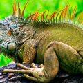 Cómo alimentar a una iguana