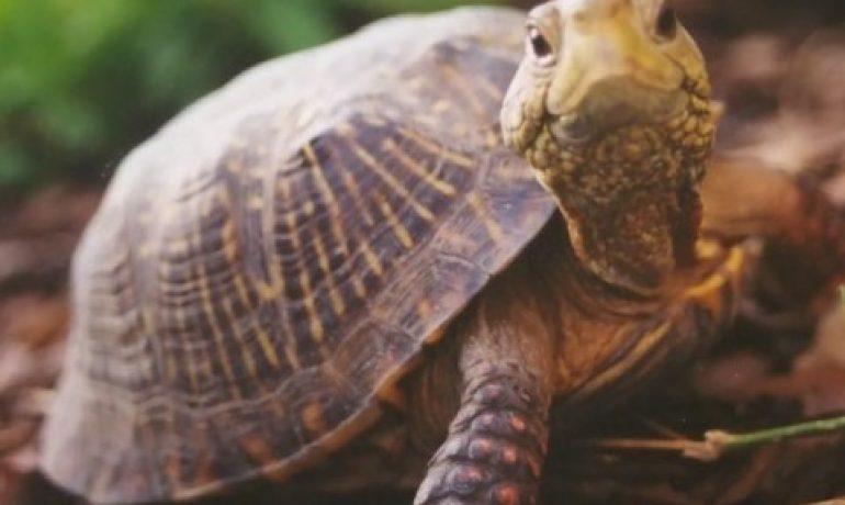 Cómo alimentar a una tortuga de tierra