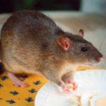 Cómo cuidar a una rata doméstica