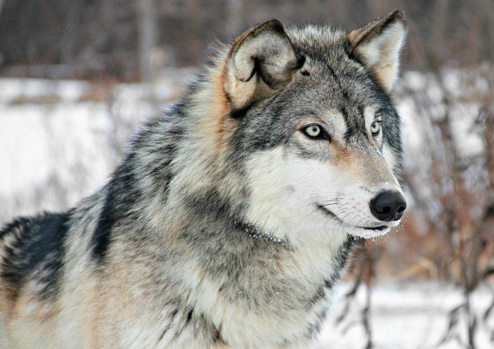 Cómo es el lobo