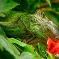 Cómo es tener una iguana como mascota