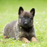 Cómo evitar la torsión gástrica en perros