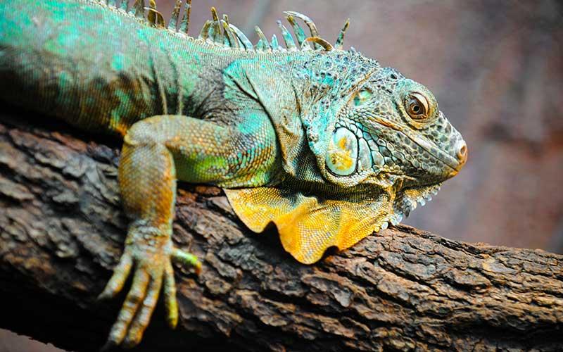 Cómo preparar el alimento de tu iguana