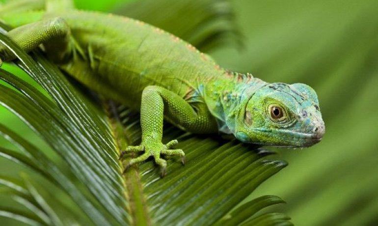 Cómo preparar la dieta de la iguana verde