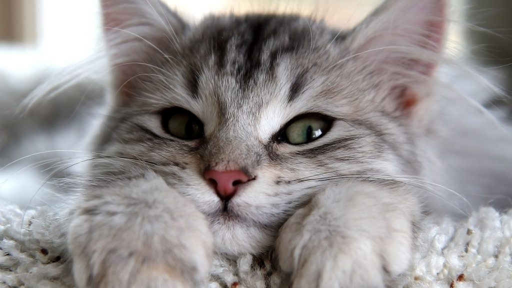 Cómo reconocer a un gato miedoso