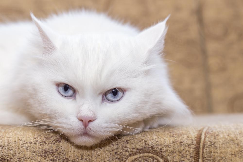 Cómo saber si mi gato está deprimido