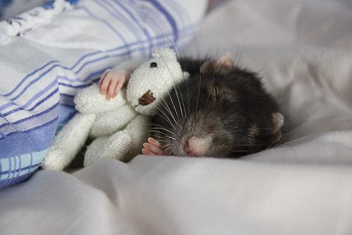 Cómo se comporta la rata como mascota
