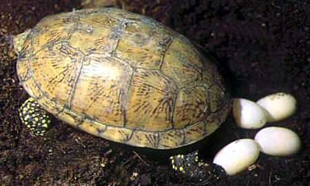 Cómo se reproducen las tortugas