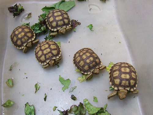 Cómo se reproducen las tortugas de tierra