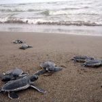 Cómo se reproducen las tortugas marinas